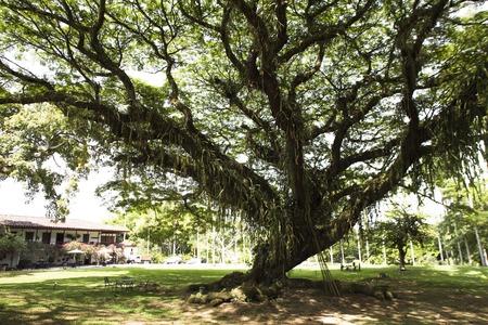 colombian: A rain tree in the colombian coffee area