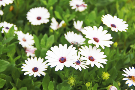 white daisy flowers on green leaves in the garden 版權商用圖片