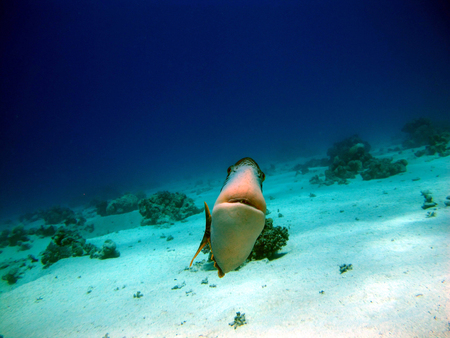 The triggerfish is a beautiful fish with an unusual body structure. The fish of the triggerfish are related to the unicorns. Red sea. Smiling fish triggerfish.