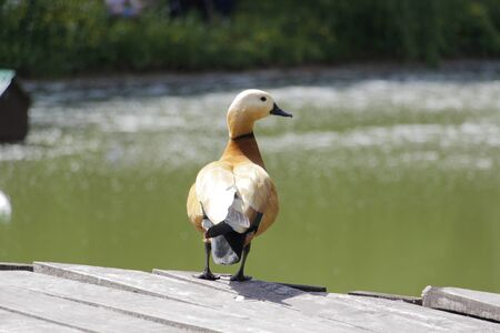 One brown duck. A lonely duck stands on a wooden bridge. In the background is a pond.