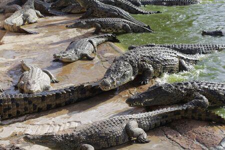 Crocodiles bask in the sun. Crocodiles in the pond. Crocodile farm. Cultivation of crocodiles. Crocodile sharp teeth. 版權商用圖片