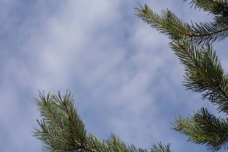 A branch of spruce against the background of blue sky and white clouds. Greeting card with place for text. Winter holidays background. Branches with needles closeup occupy half the frame.