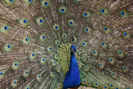 Peacock opened its beautiful tail. Colored feathers on the tail of a peacock. A beautiful male peacock shows off its tail feathers.
