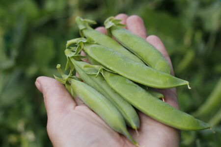 Green ripe peas on a branch in the garden. Food for vegetarians. Female hand holds ripe pea pods. Growing fresh green pea pods. Pea selection in the open air.