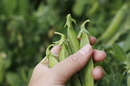 Green ripe peas on a branch in the garden. Food for vegetarians. Female hand holds ripe pea pods. Growing fresh green pea pods. Pea selection in the open air. Banque d'images - 135459234