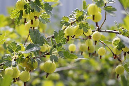 Fresh green gooseberries. Green berries close-up on a gooseberry branch. Young gooseberries in the orchard on a shrub. Gooseberries in the orchard. Banque d'images - 137950763