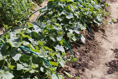 A row of green cucumber plants. Beds with young cucumbers. Cucumbers grow in the ground in open ground. Garden in the village. Grow fresh vegetables in the beds. Ecological clean vegetables.