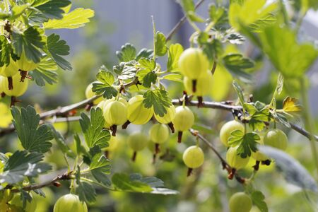 Fresh green gooseberries. Green berries close-up on a gooseberry branch. Young gooseberries in the orchard on a shrub. Gooseberries in the orchard. Imagens