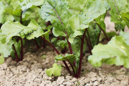 Red beets grow in the ground. Growing beets with beautiful green leaves on a vegetable garden. Agro-industry. Young beets began to grow in the ground. Imagens