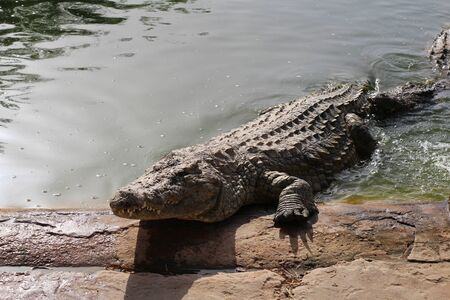 Crocodiles bask in the sun. Crocodiles in the pond. One crocodile comes out of the pond. Crocodile farm. Cultivation of crocodiles. Crocodile sharp teeth. 版權商用圖片