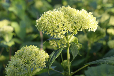 Hydrangea has not bloomed yet. While there is no flowering. The beginning of flowering in the garden. Nature and flowers.