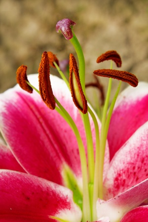 stamens: Stamens and pistil with lilies