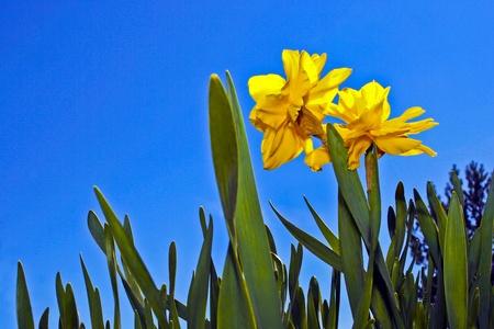 however: Yellow daffodils
