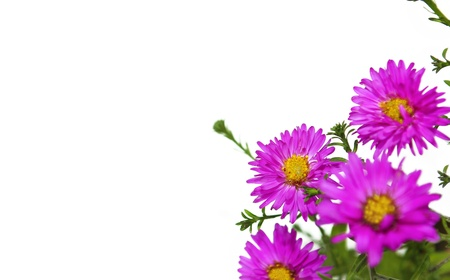 astra: Small decorative Astra beige color asters on a white background