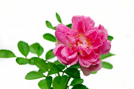 Spray rose is not a rose color on a white background Stock Photo - 15869173