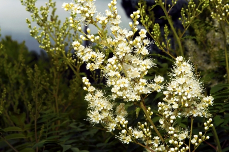 branched: Blooming bushes of white color ,not toxic and odourless grows in the summer of June and July