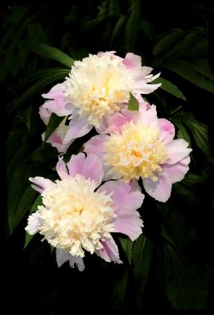 pfingstrosen: Ein schöner Blumenstrauß der Pfingstrosen auf einem schwarzen Hintergrund. Lizenzfreie Bilder