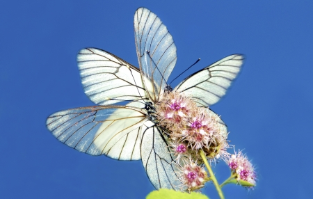 Two butterflies their wings sitting on a flower on the background of blue sky. photo