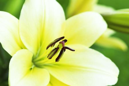 lirio blanco: Lily amarillo blanco crece en el verano