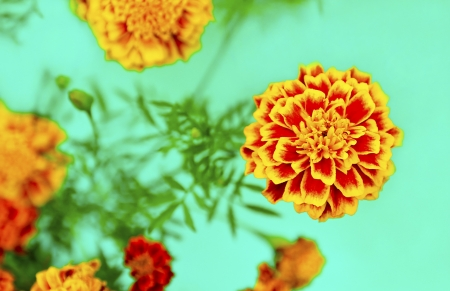 Flowers Barkchatsi Tagetes bloom in the summer on a turquoise background  Stock Photo