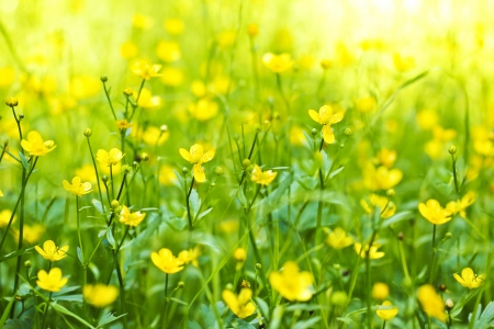The flower of the Buttercup acrid,long-term,Lugovoi with the name of  Chicken blindness