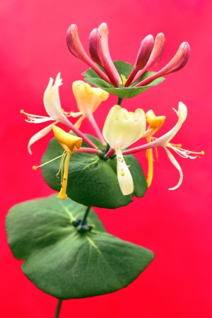 honeysuckle: Decorative honeysuckle on a red background is growing in summer