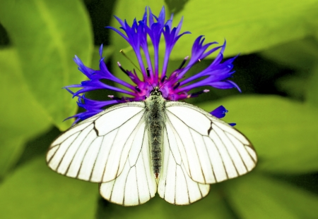 White cabbage butterfly sitting on a blue flower in the summer. Stock Photo