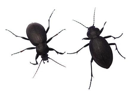 carabus: Two of garden ground beetle  Carabus hortensis  black on white background  Stock Photo