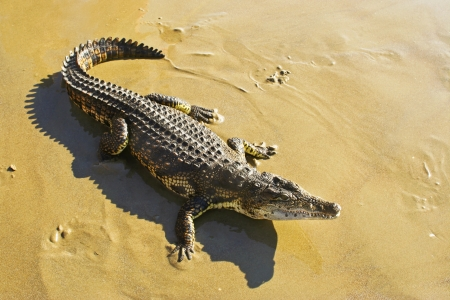 alligator eyes: Little crocodile on the sea shore  Stock Photo