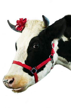 closeup cow face: Pet cow with white and black spots on a white background