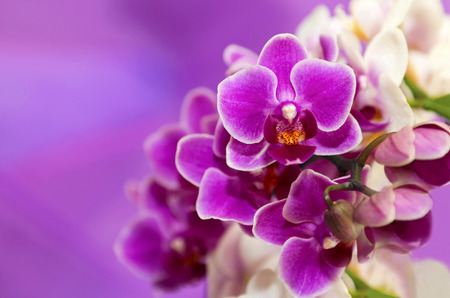 Two-tone white and purple flowers Phalaenopsis orchids  photo