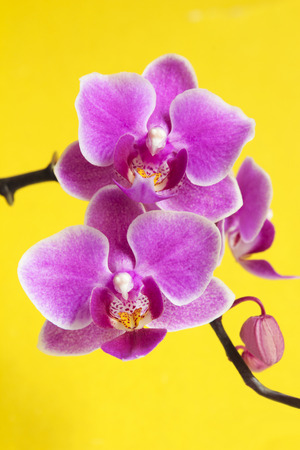 Lilac pink with yellow color in the middle of the flower Phalaenopsis orchids on a yellow background  photo