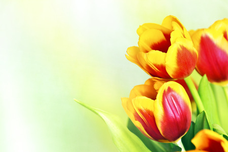 A bouquet of red tulips on a yellow green background. photo