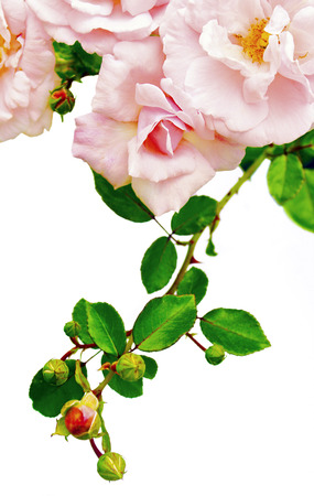 twining: Decorative rose light pink buds on a white background.