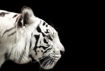 Profiel van Bengaalse witte tijger op een zwarte achtergrond.