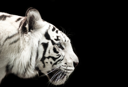 black and white: Profile of Bengal white tiger on a black background.