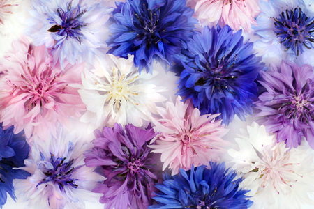 blue flowers: Field and Meadow Flowers Cornflowers different colors.