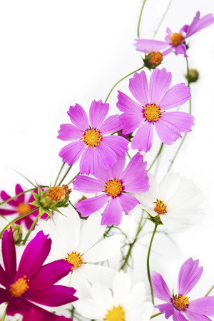 Flowers garden Cosmos pink lilac on a white background. Stock Photo