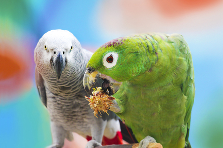 twos: Two grey parrots and green sit on a stick and one of them eats.