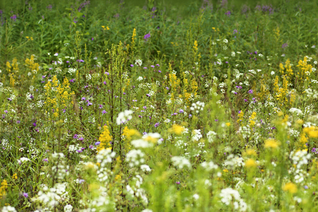 champs de fleurs: Field and meadow flowers grow in the summer. Banque d'images