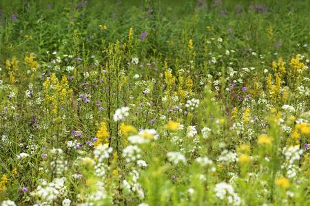 campo de flores: Field and meadow flowers grow in the summer. Foto de archivo