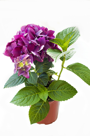 perennial: Decorative garden perennial flower Hydrangea. Stock Photo