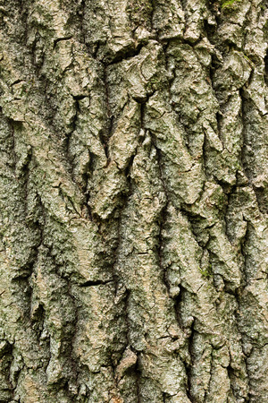 deciduous tree: Wooden texture deciduous tree closeup in the forest. Stock Photo