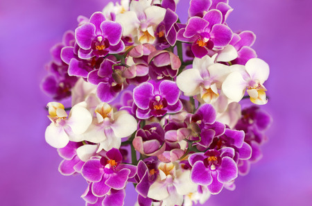 botanica: Beautiful bouquet of white and purple orchids in the shape of a ball in the center on a purple background. Stock Photo