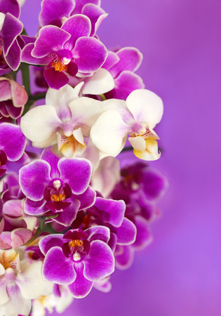 botanica: White and purple Orchid flowers on a purple background, side view closeup.