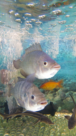 Fish suitable for food floating in the aquarium demonstrative. Stock Photo