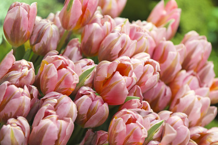 Delicate collection of identical tulips close-up. Light pink flowers growing in a greenhouse.