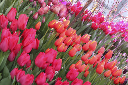 A diverse collection of tulips.Different shapes of flowers.Beauty in plants.