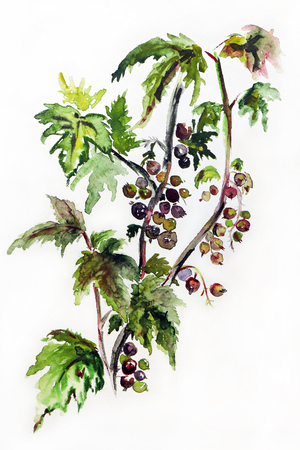 Drawing black currant bush on a white background.Garden shrub.