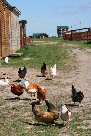 Breeding poultry in the summer. Chickens, roosters. Rural life.